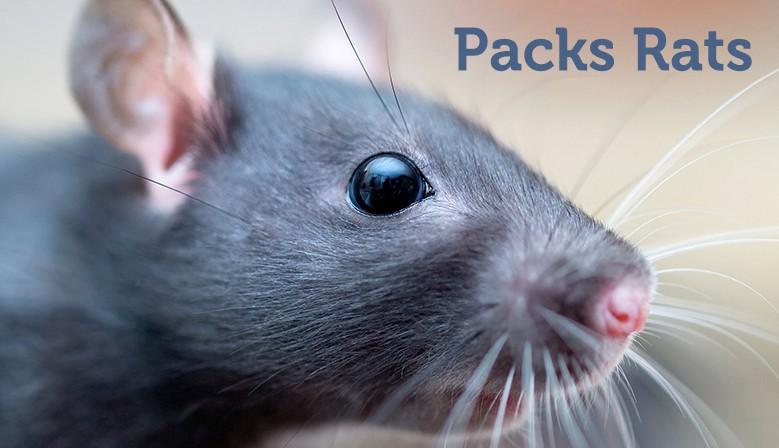 Pack rats
